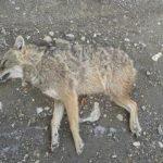 حداقل ۴ قلاده گرگ در سوریه تلف شدند